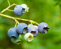Blueberries ripening on the bush Royalty Free Stock Photos