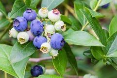 Blueberries ripening on the bush Royalty Free Stock Photo