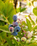 Blueberries ripening on the bush Royalty Free Stock Images