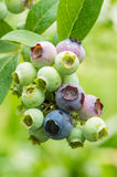 Blueberries ripening on the bush Stock Photography