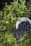 Blueberries scattered on the green moss Royalty Free Stock Photography