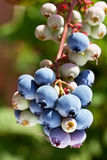 Blueberries on a shrub. Royalty Free Stock Photo