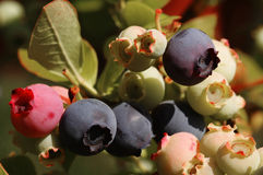 Blueberries on a shrub Stock Photography