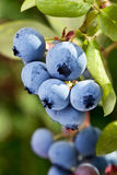 Blueberries on a shrub. Royalty Free Stock Image