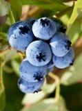 Blueberries on a shrub. Macro shot Stock Photos