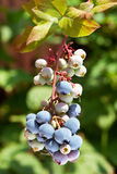 Blueberries on a shrub. Stock Images