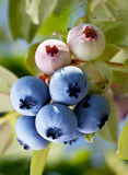 Blueberries on a shrub. Stock Photography