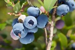 Blueberries on a shrub. Stock Image