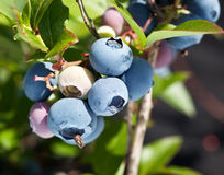Blueberries on a shrub. Stock Photos