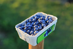 Blueberries in a  small bowl on a field Royalty Free Stock Photography