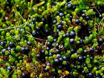 Blueberries. Small and tasty forest fruit Royalty Free Stock Photo