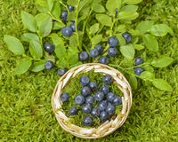 Blueberries. Some blueberries in the detail stock image