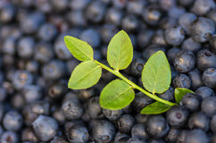 Blueberries with sprig Stock Photos
