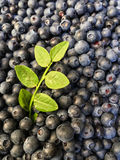 Blueberries with sprig Royalty Free Stock Photo
