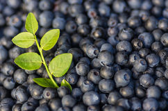 Blueberries with sprig Royalty Free Stock Photography