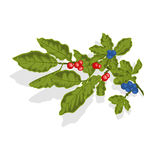 Blueberries twig with leaves and berries. Illustration without gradients Royalty Free Stock Image