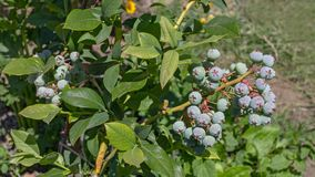 Blueberries Vaccinium corymbosum, flowering. Branch of blueberry Vaccinium corymbosum, which is in the process of maturing. There is a bunch of green berries royalty free stock photos