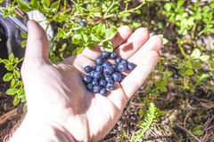 Blueberries vaccinium myrtillus on a hand Royalty Free Stock Photo