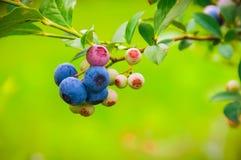 Blueberries on the Vine stock image