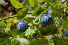 Blueberries with water drops after rain Stock Photos