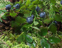 Blueberries with water drops after rain Stock Photo