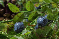 Blueberries with water drops after rain Royalty Free Stock Photos
