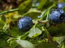 Blueberries with water drops after rain Royalty Free Stock Images