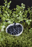 Blueberries in white bowl on the green moss Stock Image