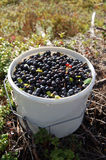 Blueberries in white bucket. Lots of blueberries in a bucket in the forrest Royalty Free Stock Photography