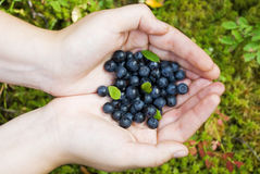 Blueberry. Hands full of blueberries in the forest Royalty Free Stock Photography