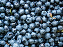 Blueberry. Fresh blueberry from the near forrest Royalty Free Stock Photography
