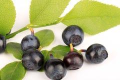 Blueberry Stock Photos