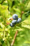Blueberry. Fresh blueberry ready to be harvested Royalty Free Stock Photos