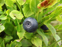 Blueberry. Blueberries are flowering plants of the genus Vaccinium (a genus which also includes cranberries and bilberries) with dark-blue berries. This is Stock Image
