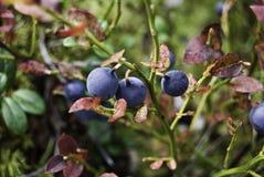 Blueberry Stock Photo