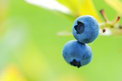 Blueberry Stock Photos