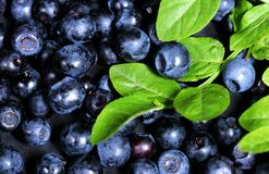 Blueberry. Background full  green ripe blueberries Royalty Free Stock Images