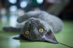 Devon Rex breed in Latvia. Blueberry Anna Curly Pleasure, gorgeous Devon Rex kitten Stock Images