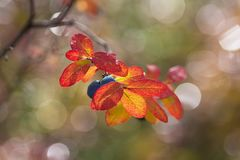 Blueberry  in autumn. Berry and leaves blueberry  in autumn with bokeh Stock Photography