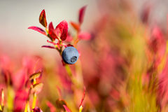 Blueberry and autumn colors Stock Photos