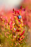 Blueberry and autumn colors Stock Images