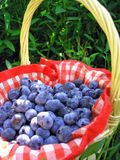 Blueberry in a Basket. Delicious Blueberries in a picnic basket, sitting in the grass, ready to be eaten Royalty Free Stock Photos