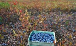 Blueberry basket Stock Photography