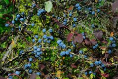 Blueberry berries in autumn. Parco nazionale Abruzzo Lazio Molise Royalty Free Stock Photography