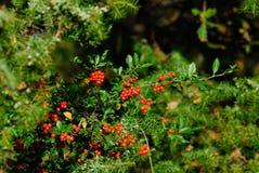 Blueberry berries in autumn. Parco nazionale Abruzzo Lazio Molise stock image