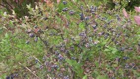 Blueberry berry bush grow in garden plantation. Healthy food stock video