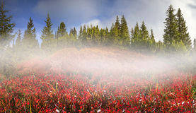 Blueberry blanket of autumn Stock Photography