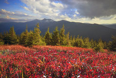 Blueberry blanket of autumn Stock Image