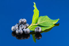 Blueberry on blue background with leaf Royalty Free Stock Images