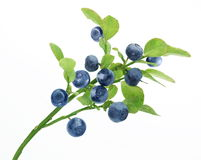 Blueberry branch Stock Image